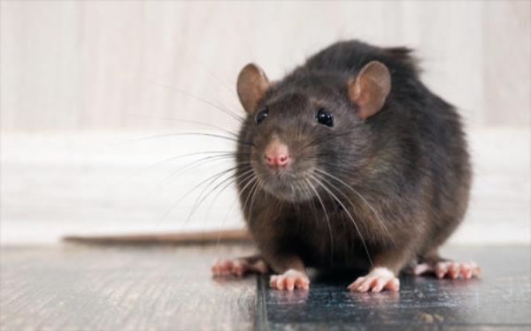 (تصویر) هوس موش برای خوردن نوزاد 18 ماهه!